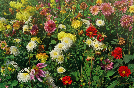 Red, white, yellow, pink dahlia. Multicolor dahlia mix. Flower bed a considerable of flowers dahlias Archivio Fotografico - 105220241