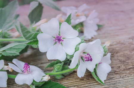Wooden board and common marsh mallow.Marshmallow Althaea officinalis flower