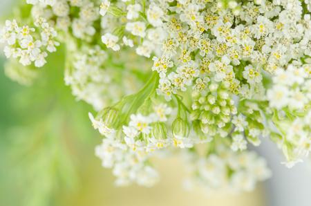 Yarrow flower or  Achillea millefolium. White yarrow blossom on the meadow.  Achillea flowering plant