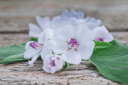 The leaves and flowers of Althaea officinalis. Althaea have medicinal properties. Medicinal herb marsh mallow. 免版税图像