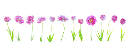 Collage of natural purple flowers tulips isolated. Purple tulip set  isolated on a white. Archivio Fotografico