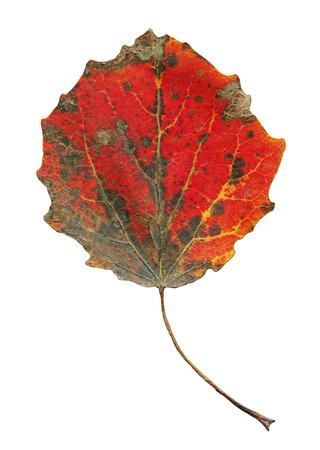 Autumn leaves of aspen isolated. Autumn populus tremula leaf isolated