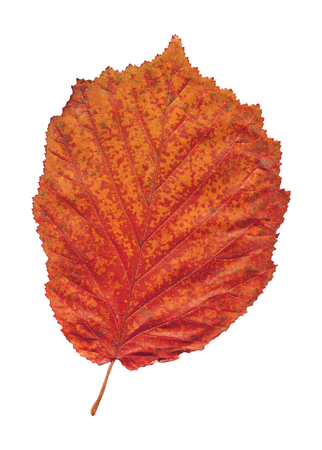 Alder red leaf isolated on white. Alnus glutinosa autumn leaf isolated