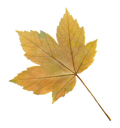 Maple acer autumn leaf isolated on a white background. Acer pseudoplatanus or sycamore maple leaf