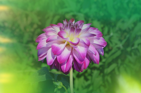 Pink dahlia flower. Pink dahlia in the summer garden. Empty copy space