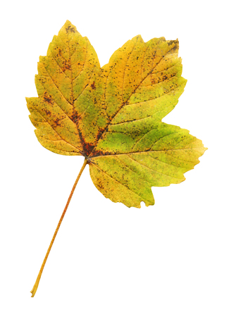 Maple autumn leaf isolated on a white background. Maple autumn leaf isolated 스톡 콘텐츠
