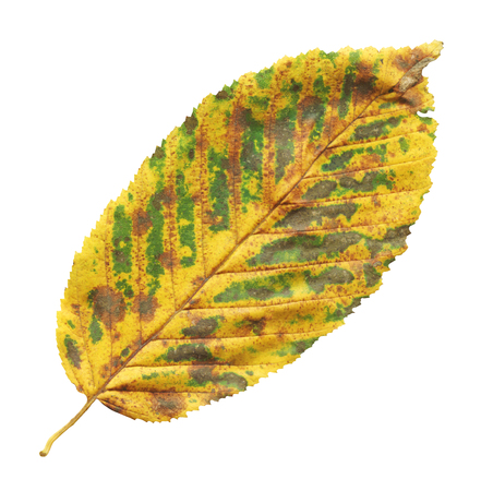 Golden autumn colours elm tree leaf isolated.