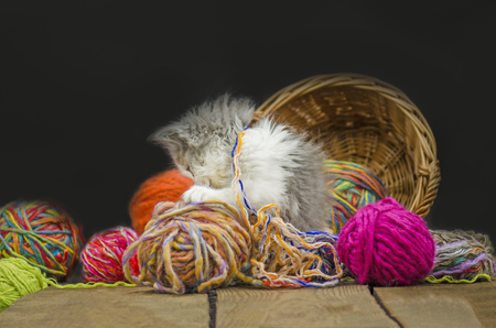 Cute little exotic kitten playing with wool ball.