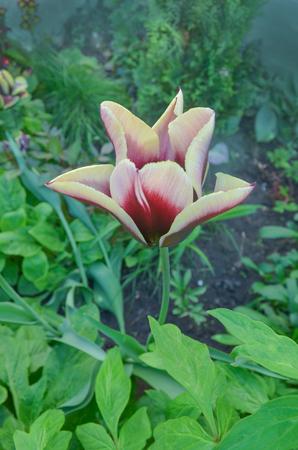 Spring garden with striped  tulip Gavota. Beautiful spring nature.