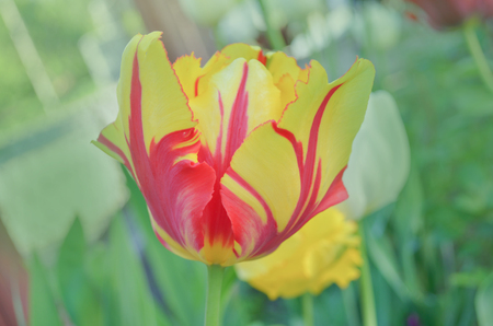 Bright stripes on petal. Spring garden with striped  tulips. Beautiful spring nature. Beautiful flower growing