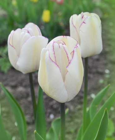Double white tulips in park outdoor.  Double tulip Mondial.