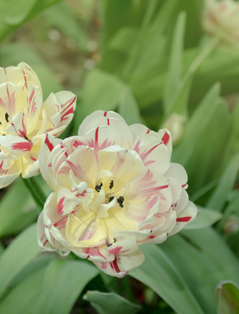 Double white tulip with red stripes. Carnaval de nice tulip Banque d'images - 116679711