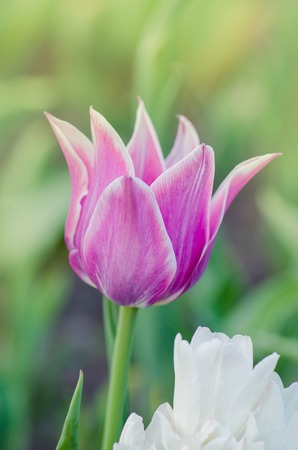 Purpe tulip edged with shades of creamy white. Tulip variety Fontainebleau Stock Photo