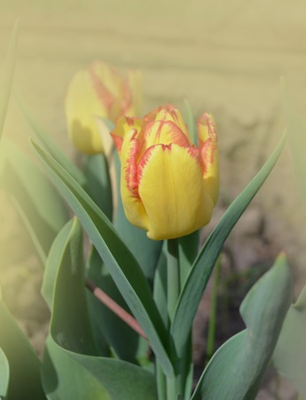 Bright stripes on petal. Spring garden with striped  tulips Cape Town. Beautiful spring nature. Beautiful flower growing