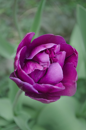Terry full violet purple. Peonyflowering lilac double tulip flower.