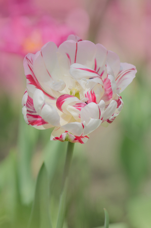 Double white tulip with red stripes. Double tulip Carneval de Nice Banque d'images - 117760640