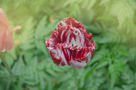 Dual colored red white tulip. White with red stripe on petal tulip. White tulip flower with pink stripes