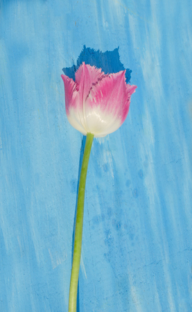 Pink spring tulip blossom. Fringed terry tulip on a blue wooden background 스톡 콘텐츠