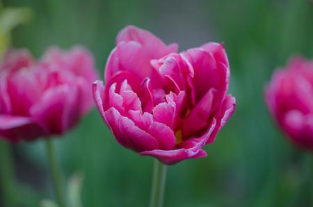 Double pink peony tulip in garden. Beautiful double pink tulip Drumline.  Pink peony flowered double tulip.
