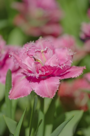 Pink and white tulip Mascotte. Mascotte tulip on the flowerbed. Fringed  tulip Mascotte