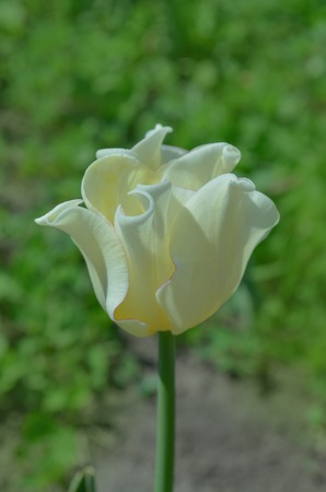 Tulip with coronet shape. Tulip with ruffled petals White Liberstar.  Crown or coronet tulip blooming Stock Photo
