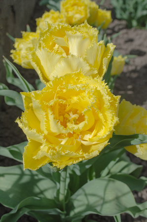 Tulip Mon Amour. Double fringed yellow tulip