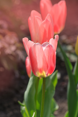 Bright pink with white stripes on petal. Spring garden with striped pink and white tulips Miramare