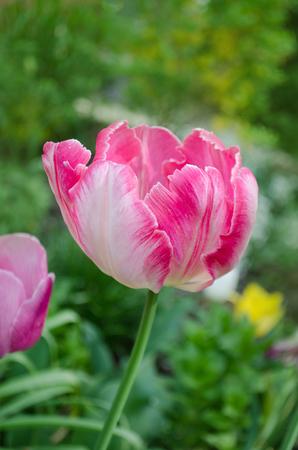 Pink tulip parrot. Pink Parrot tulip flower in garden Фото со стока