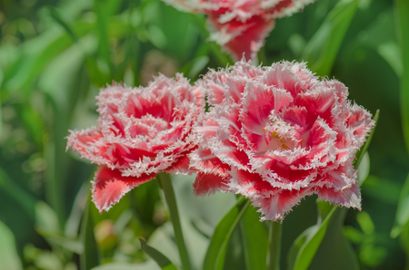 Bright colorful  Queensland fringed tulips. Queensland terry fringed tulip in garden. Stock Photo