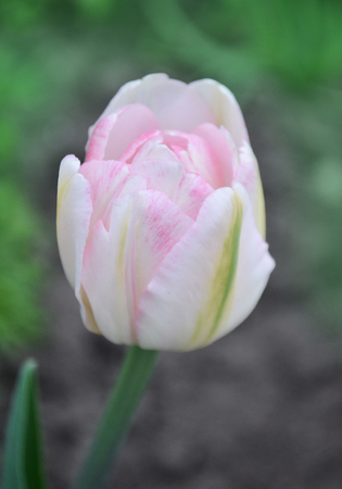 Double pink peony tulip in garden. Beautiful double pink tulip.  Pink peony flowered double tulip against a blur background. Stock Photo