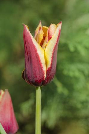 Spring garden with striped  tulip Gavota. Beautiful spring nature. Beautiful flower growing