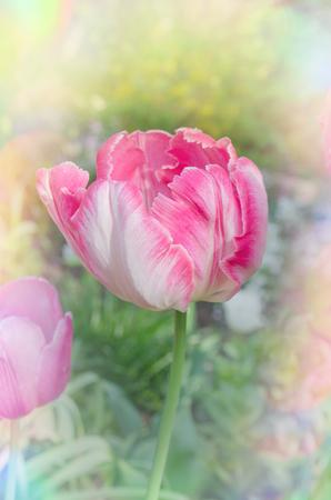Tulips parrot  pink orange close up. Pink Parrot tulip