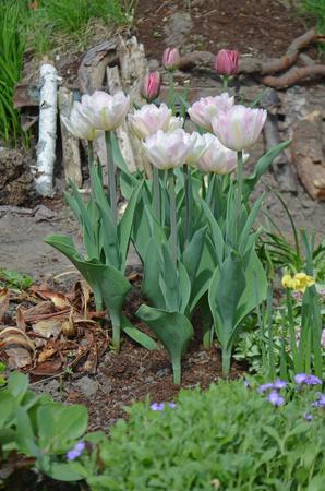 Double pink peony tulip in garden. Beautiful double pink tulip  Mariage.  Pink peony flowered double tulip  Mariage.