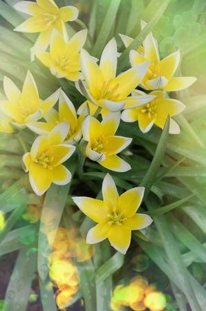 Diminutive tulip Tarda. Tarda Dasystemon tulip in garden