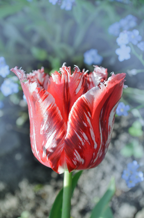 Pink and white tulip Rembrandt with terry petals. Red and white fringed tulip. Red white tulip Rembrandt.
