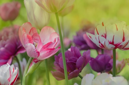Mix of spring tulips flowers. Mixed color tulips in garden. Landscape with  tulip field. Fresh growing tulips in garden