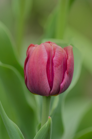 Beautiful pink tulip. Tulips flower beautiful background. Beauty tulips blooming