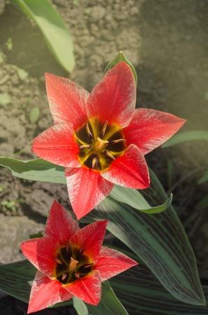 Beautiful tulip with stripe. Czaar Peter tulip