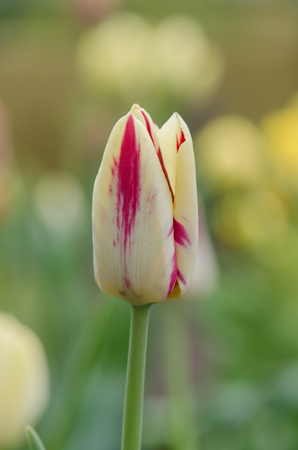 Beautiful tulip with stripe. Natural floral background
