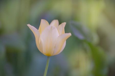 Beautiful tulip Marjolettii