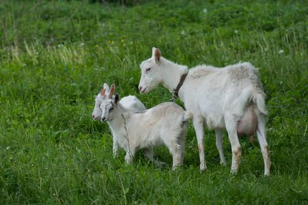 Local family goats in the yard village house. Goats standing among green grass. Goat and goat kid. Herd of farm goats.