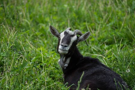 Black goats eating grass outdoor. Goat in the field.