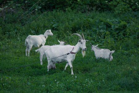 Goats standing among green grass. Goat and goat kid. Herd of farm goats. 免版税图像