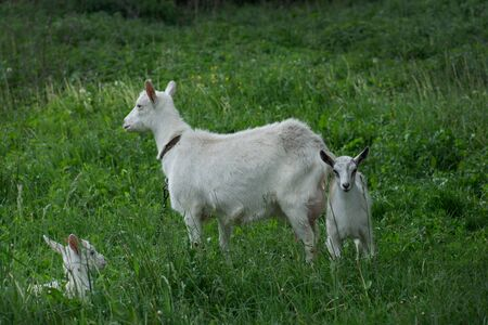 Group of goats with baby goats. Local family  goats in the yard village house.  Goats standing among green grass. Sunny spring day. Goat and goat kid 免版税图像