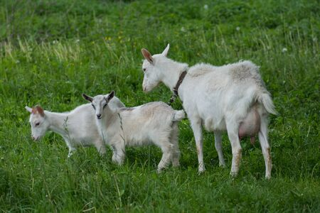 Goat and goat kid. Herd of farm goats. White goat with kids