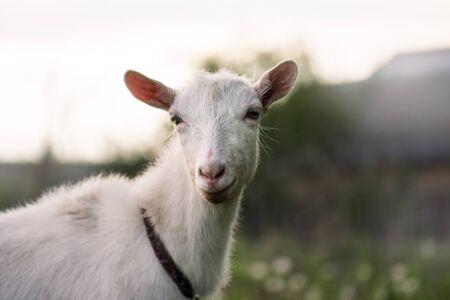 Chèvre en gros plan. Chèvre blanche dans un champ. Gros plan d'une chèvre curieuse. Gros plan d'une chèvre blanche. Chèvre blanche drôle