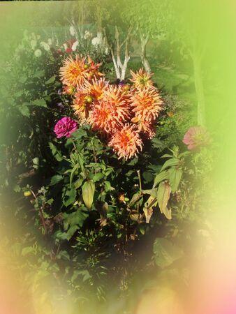 Dahlia cactus type. Fancy pink yellow white dahlia. Semi cactus Dahlia
