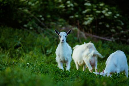 Goats on family farm. Herd of goats playing. Family goats on a green meadow. Herd of goats Stok Fotoğraf