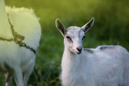 Baby goats kid stand in summer grass. Young goat grazes in a meadow. Goat kids playing together.