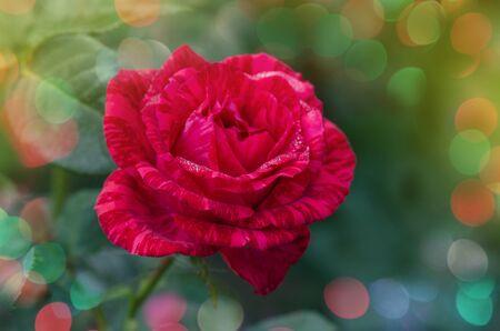 Choosing the best  tabby roses for floral bouquets. Lovely zonate red rose in the garden in full bloom. Organic mottled  flower  gardening. Red rose flower